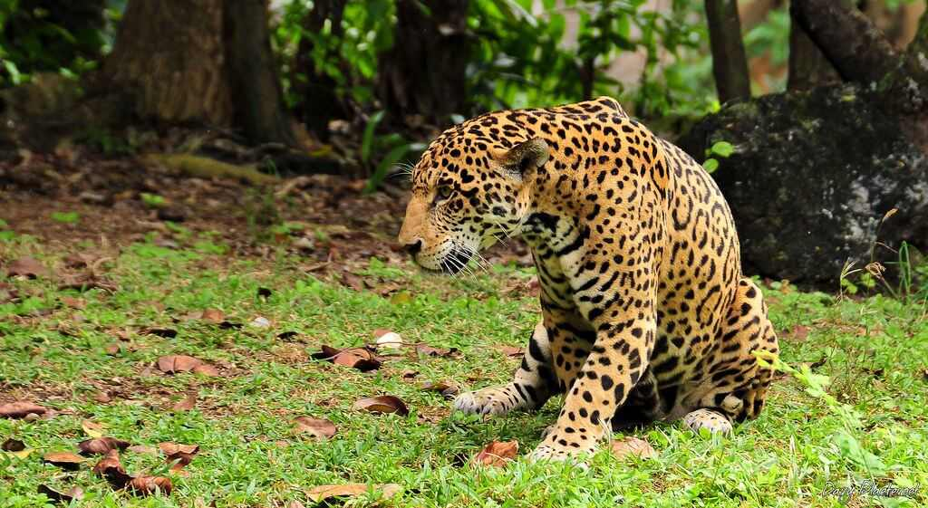 jaguar en la riviera maya