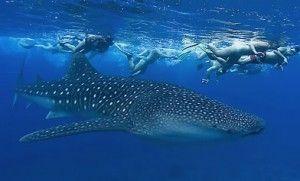 Excursiones Tiburón Ballena