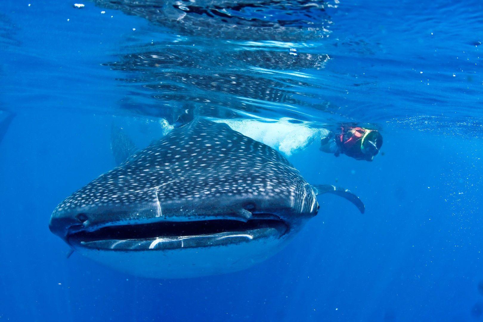 Tour: Nado con tiburón ballena.