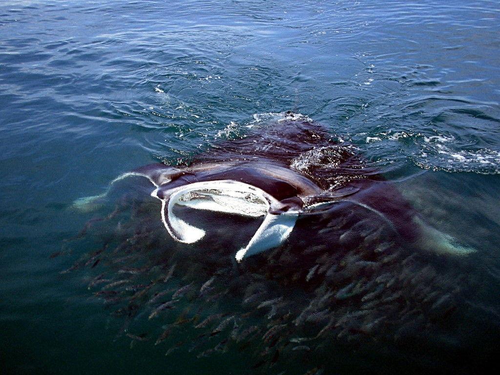 tiburon-ballena08
