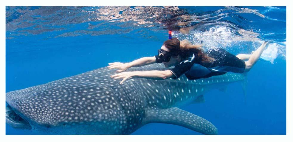 excursiones a Holbox para nadar con el tiburón ballena