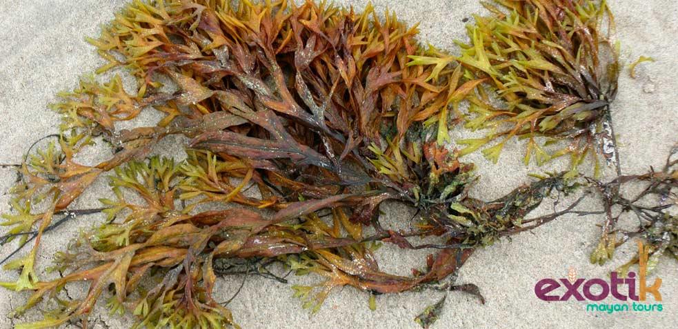 alga de tipo plactónica