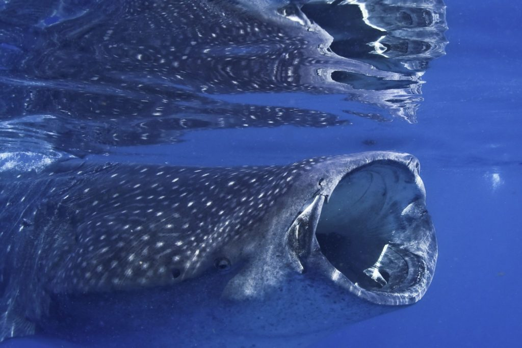 tiburon-ballena07